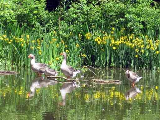 Oies sur l'étang